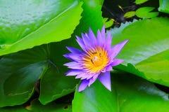 Púrpura de la flor de Lotus o agua lilly y la abeja chupada en el polen hermoso en naturaleza Imagenes de archivo