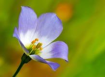 Púrpura de la flor salvaje Imagen de archivo libre de regalías