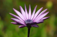 Púrpura de la margarita que despierta Foto de archivo
