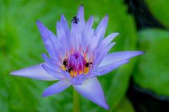 Púrpura de las abejas y de la flor de loto por mañana Fotos de archivo libres de regalías