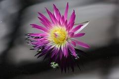 Púrpura de Ninfea Fotografía de archivo