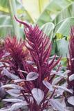 Púrpura del amaranto Fotos de archivo