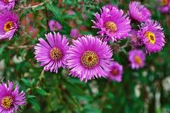 Púrpura del aster Fotos de archivo