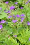 Púrpura del cranesbill del arbolado del sylvatica del geranio Fotos de archivo