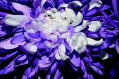 Púrpura del primer con la dalia centrada blanco Foto de archivo libre de regalías