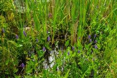 Púrpura en el verde Fotos de archivo libres de regalías