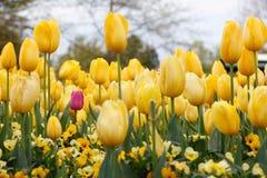 Púrpura en la flor amarilla de los tulipanes - poco yo Imagenes de archivo