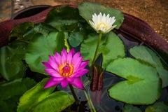 Púrpura - flor de Lotus blanco en el pote, jardín Foto de archivo