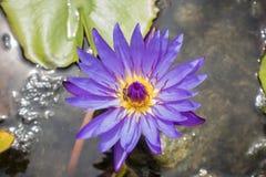 Púrpura Lotus de las abejas Fotografía de archivo