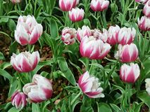 Púrpura mezclada blanca muy hermosa en el jardín fotografía de archivo libre de regalías