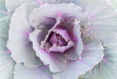 Púrpura o Violet Cabbages o col rizada para la decoración Fotografía de archivo libre de regalías
