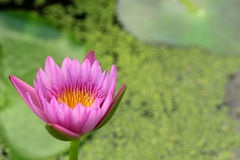 Púrpura rosada de Lotus en la naturaleza Imagenes de archivo