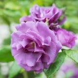 Púrpura Rose de la flor Fotos de archivo