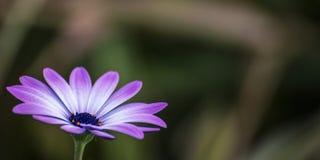 Púrpura una margarita blanca Fotos de archivo libres de regalías