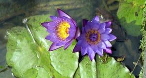 Púrpura waterlilly en el lago oscuro Fotos de archivo