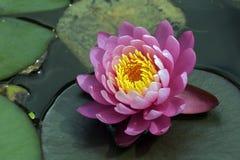 Púrpura waterlilly en el lago oscuro Fotografía de archivo libre de regalías