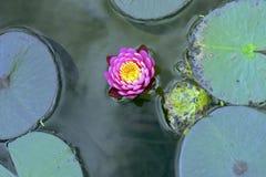 Púrpura waterlilly en el lago oscuro Fotos de archivo libres de regalías