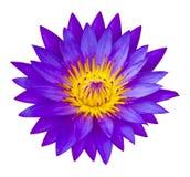 Púrpura waterlilly o Lotus Flower en la naturaleza - charca de loto Fotografía de archivo