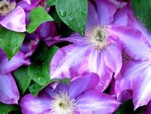 Púrpura y bastante Imagen de archivo libre de regalías