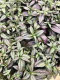 Púrpura y follaje verde del jardín de la hoja imagenes de archivo