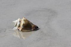 Pústula nodoso Shell na praia Imagem de Stock