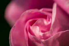 Pączek delikatna menchii róża Delikatna romantyczna wakacje karta Fotografia Royalty Free