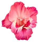 Pączek gladiolusa zmrok - czerwień biel i menchie Obrazy Stock