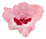 Pączek gladiolusa zmrok - czerwień biel i menchie Obraz Stock