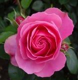 Pączek różowa herbata wzrastał Obrazy Royalty Free