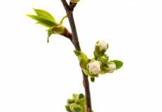 Pączek z czereśniowym kwiatem odizolowywającym Zdjęcie Stock