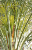 pączków daty zieleni drzewko palmowe Zdjęcia Royalty Free