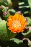 pączków kaktusa zakończenia kwiat w górę kolor żółty Fotografia Royalty Free