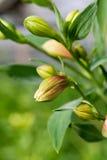 pączków kwiaty zdjęcia royalty free