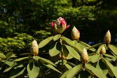 Pączki różanecznik Fotografia Royalty Free
