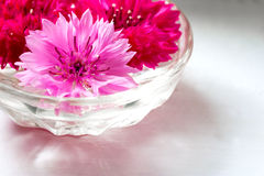 Pączki różowi i czerwoni cornflowers w szklanej wazie na lekkim tle Obraz Royalty Free