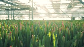 Pączki różowi tulipany w nasłonecznionej szklarni zdjęcie wideo