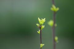 Pączki w wiosny zbliżeniu Obrazy Royalty Free