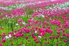 Pączkować i jaskrawi kwiatonośni Papavers Zdjęcie Stock