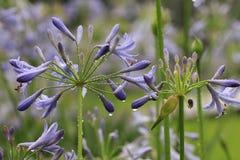 Pączkować purpura kwiaty Obraz Royalty Free
