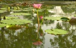 Pączkować waterlily i okwitnięcie kolor żółty Fotografia Stock