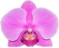 Pączkowa orchidea na białym tle Zdjęcia Royalty Free