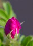 pączkowa różową różę Zdjęcia Royalty Free