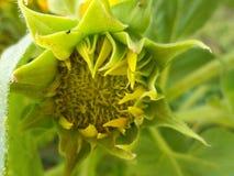 Pączkowi słoneczniki Fotografia Stock