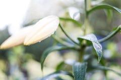 Pączkowy białej lelui kwiatu zakończenie up w ogródzie po deszczu shalna fotografia royalty free