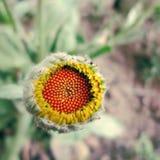 2008 pączkowy karaganda Kazakhstan lato słonecznik Obrazy Stock