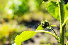 2008 pączkowy karaganda Kazakhstan lato słonecznik Obraz Stock