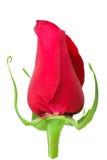 pączkowy kwiat wzrastał Obraz Royalty Free