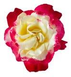 Pączkowy kwitnie róża kwiat odizolowywający na białym tle fotografia royalty free