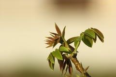 pączkuje drzewnego orzech włoski Obrazy Royalty Free