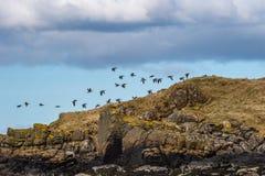 Pąkli gąski Branta leucopsis, wyspa Skye Szkocja, Jednocząca zdjęcie royalty free